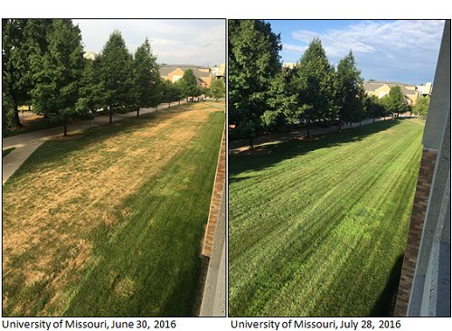 Comparison pictures of University of Missouri lawn on June 30, 2016 & July 28, 2016